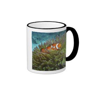 Western Clownfish ( Amphiprion ocellaris ), in Ringer Mug