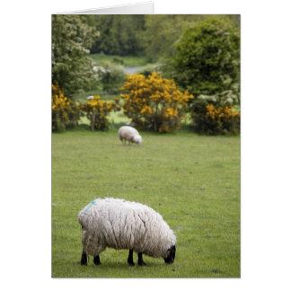 Western Ireland, a full fleeced black-faced Card