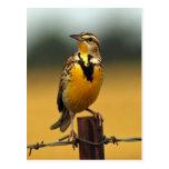 Western Meadowlark Postcards
