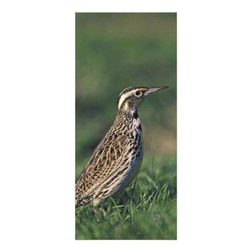Western Meadowlark Rack Card Design