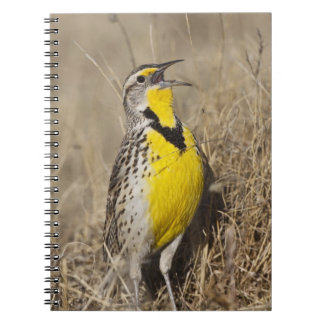 Western Meadowlark (Strunella neglecta) in Notebooks