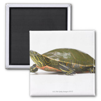 Western painted turtle (Chrysemys picta bellii), Square Magnet