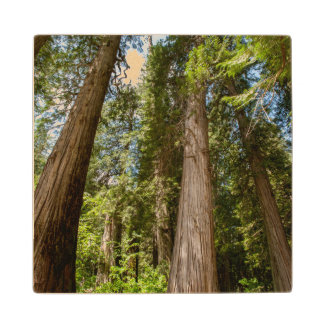 Western Red Cedar Trees Wood Coaster