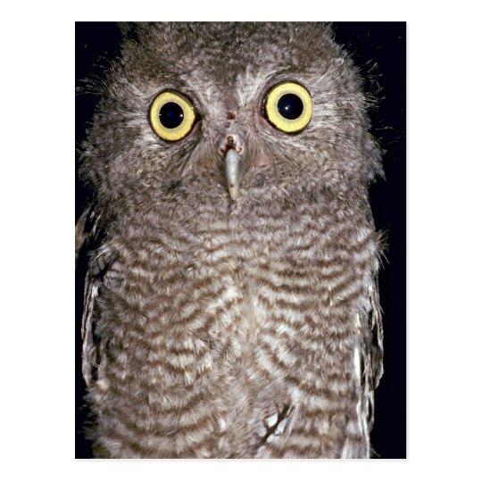 Western screech owl, Otus kennicottii, California, Postcard