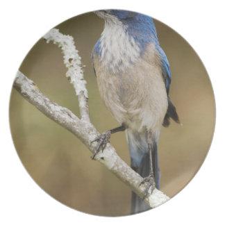 Western Scrub-Jay, Aphelocoma californica, adult Dinner Plates