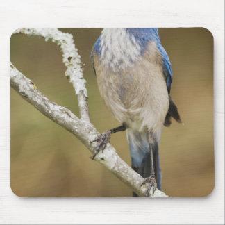 Western Scrub-Jay, Aphelocoma californica, adult Mouse Mat