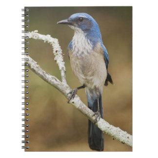 Western Scrub-Jay, Aphelocoma californica, adult Notebook