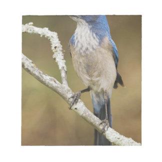 Western Scrub-Jay, Aphelocoma californica, adult Notepad