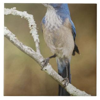 Western Scrub-Jay, Aphelocoma californica, adult Tile
