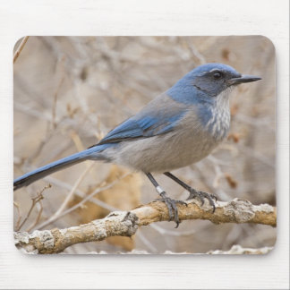 Western Scrub Jay Aphelocoma californica) Mouse Pad