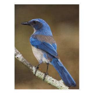 Western Scrub-Jay,  Aphelocoma californica, Postcard