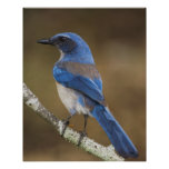 Western Scrub-Jay,  Aphelocoma californica, Poster