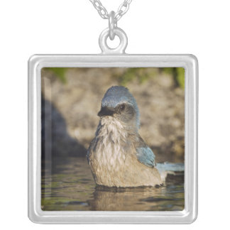 Western Scrub-Jay, Aphelocoma californica, Silver Plated Necklace