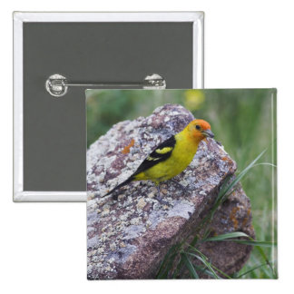 Western Tanager, Piranga ludoviciana, adult male 15 Cm Square Badge