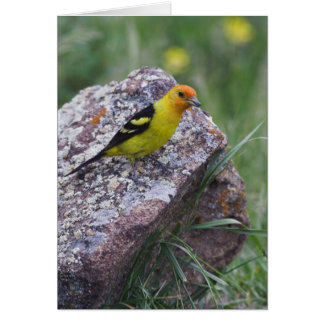 Western Tanager, Piranga ludoviciana, adult male Card