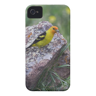 Western Tanager, Piranga ludoviciana, adult male iPhone 4 Case-Mate Case