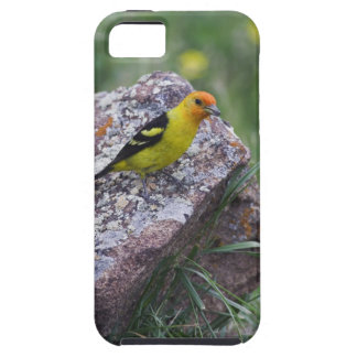 Western Tanager, Piranga ludoviciana, adult male iPhone 5 Cases