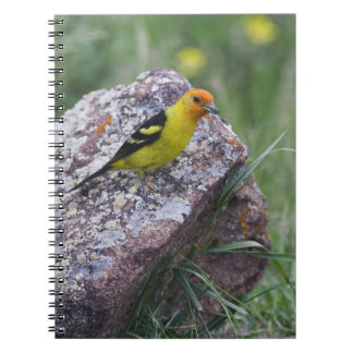 Western Tanager, Piranga ludoviciana, adult male Notebook