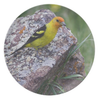 Western Tanager, Piranga ludoviciana, adult male Plate