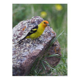 Western Tanager, Piranga ludoviciana, adult male Postcard