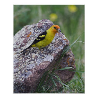 Western Tanager, Piranga ludoviciana, adult male Poster