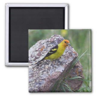 Western Tanager, Piranga ludoviciana, adult male Square Magnet