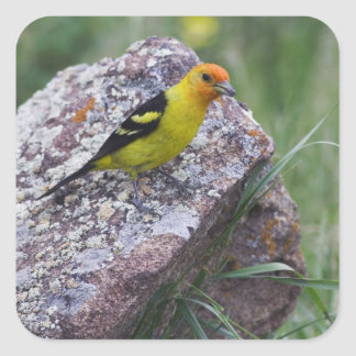 Western Tanager, Piranga ludoviciana, adult male Square Sticker