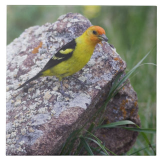 Western Tanager, Piranga ludoviciana, adult male Tile