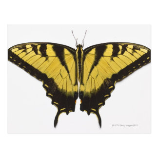 Western Tiger Swallowtail Butterfly Postcard