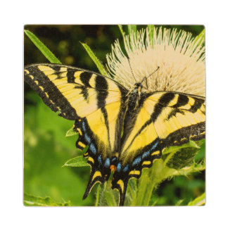 Western Tiger Swallowtail on a thistle Wood Coaster