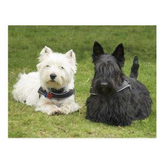 Westie & Scottie Green Grass Postcard