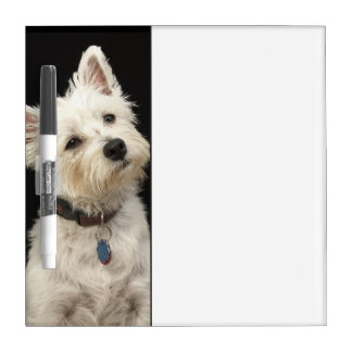Westie (West Highland terrier) with collar Dry Erase Board