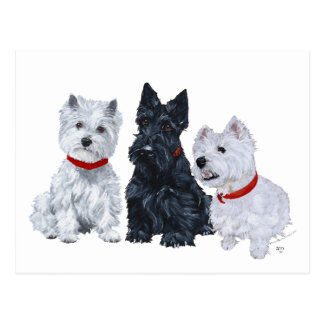 Westies and a Scottie Together Post Card