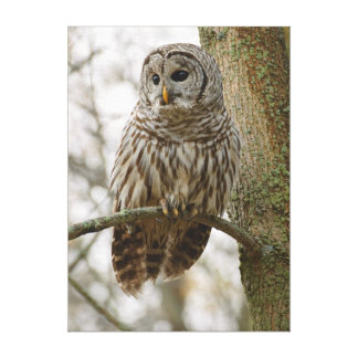 Wet Feathers Barred Owl Alert Looking for Prey Gallery Wrapped Canvas