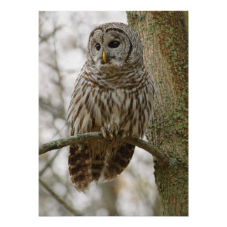Wet Feathers Barred Owl Alert Looking for Prey Poster