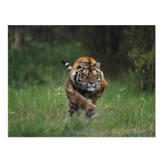 Wet Siberian Tiger Charging Postcard