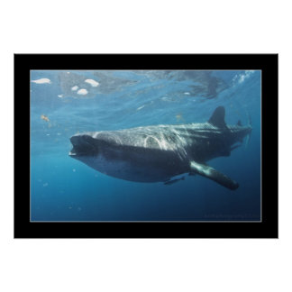Whale shark 2 posters