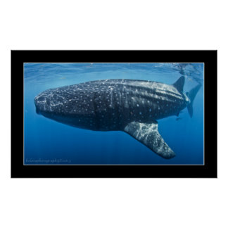 Whale shark #3 poster