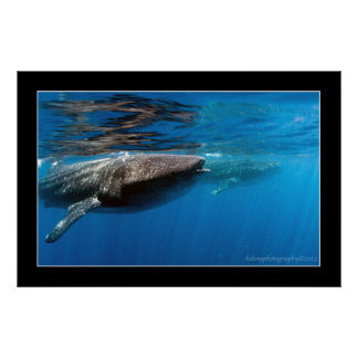 Whale Sharks at Holbox Print