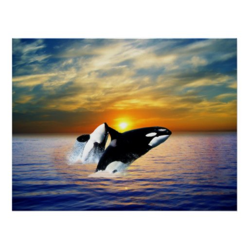 Whales at sunset posters