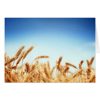 Wheat field against blue sky card