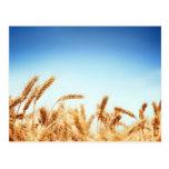 Wheat field against blue sky postcard