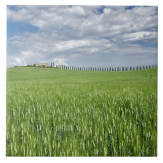 Wheat field and drive lined by stately cypress tile