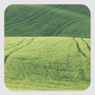 Wheat Field with Tire Tracks, Pienza, Val Square Sticker