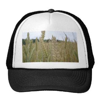 Wheat Plant Seeds Cap