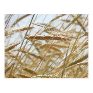Wheat & Sky Postcard