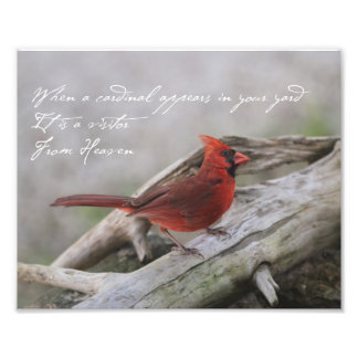 When a cardinal appears in your yard... photograph
