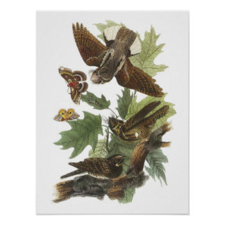 Whip-poor-will by Audubon Poster