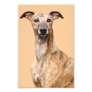 Whippet dog beautiful portrait ,photo, gift