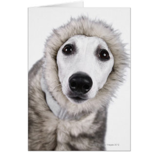 Whippet dog wearing fur coat, studio shot card